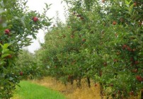 Pine Crest Orchard Bilpen-Apples