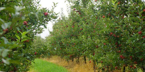 Pine Crest Orchard Bilpen-Apples