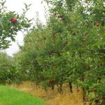 Pick-Your-Own: It's apple season in Blipin!